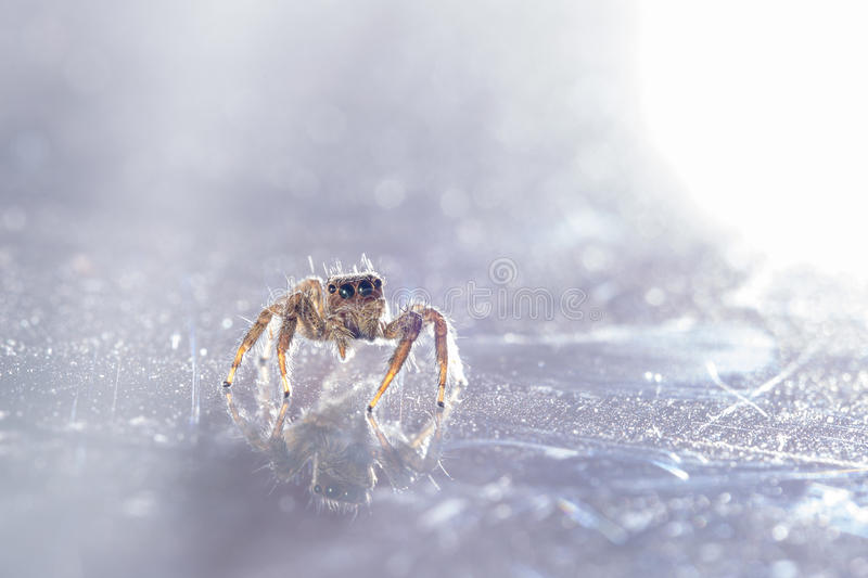 Small Jumping Spider. On a gray Background stock photos