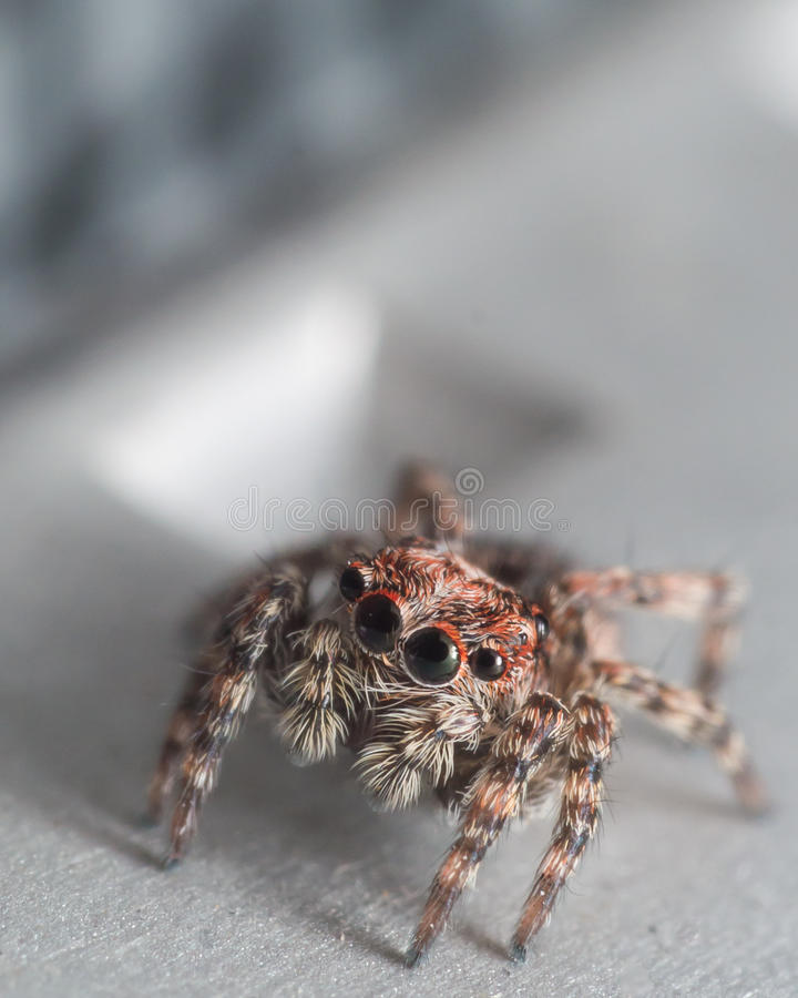 Small jumping spider with red around eyes looks up. Small jumping spider on gray surface with red around eyes looks up royalty free stock photography