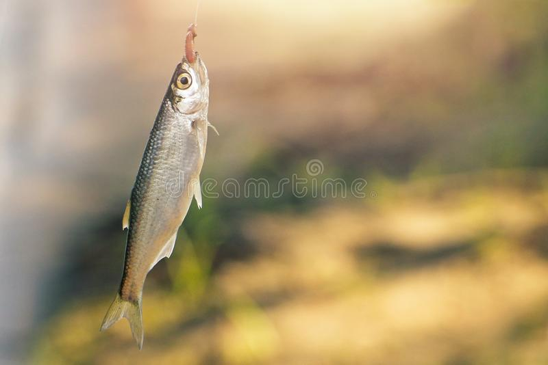 Small just caught fish on the hook royalty free stock image