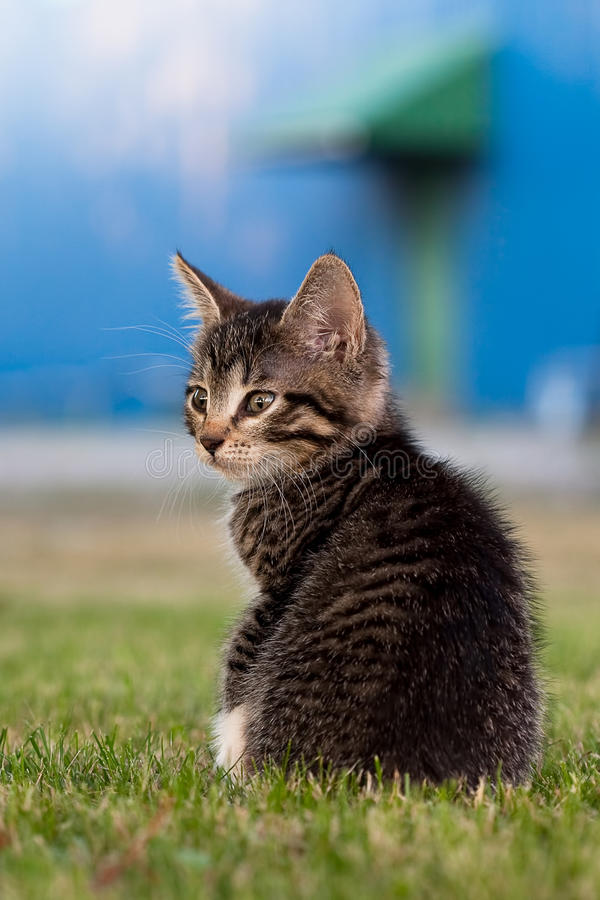 Download Small kitten stock image. Image of evening, furry, grass - 22041837