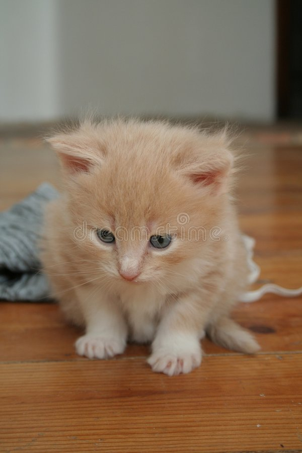 Download Small kitten stock image. Image of cats, animal, scared - 2318309