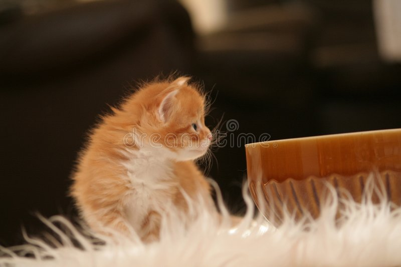 Small kitten. Small red kitten of Maine Coon royalty free stock photography