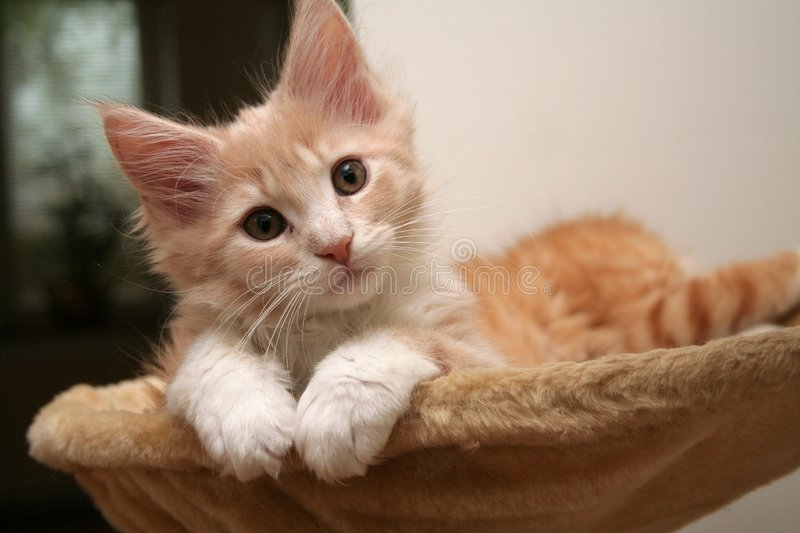 Small kitten. Small white kitten of Maine Coon stock images