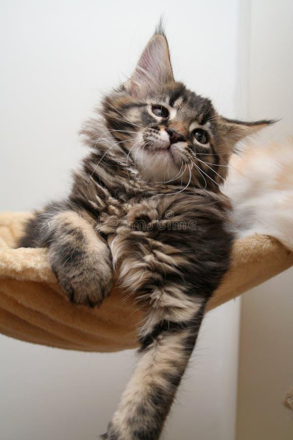 Small kitten. Small black kitten of Maine Coon stock photos