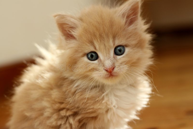 Small kitten. Small red kitten of Maine Coon royalty free stock photo