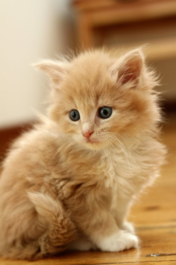 Small kitten. Small red kitten of Maine Coon stock image