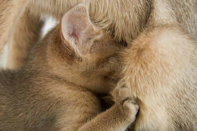 A small kitten Abyssinian breed drinks milk from mother cat.  stock photos