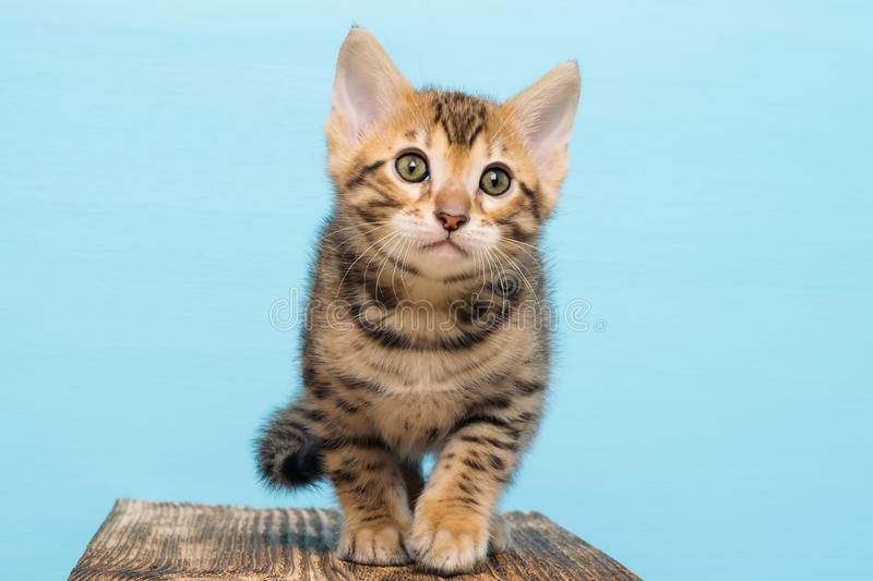 Small kitten of Bengal, on a blue background goes stock photo