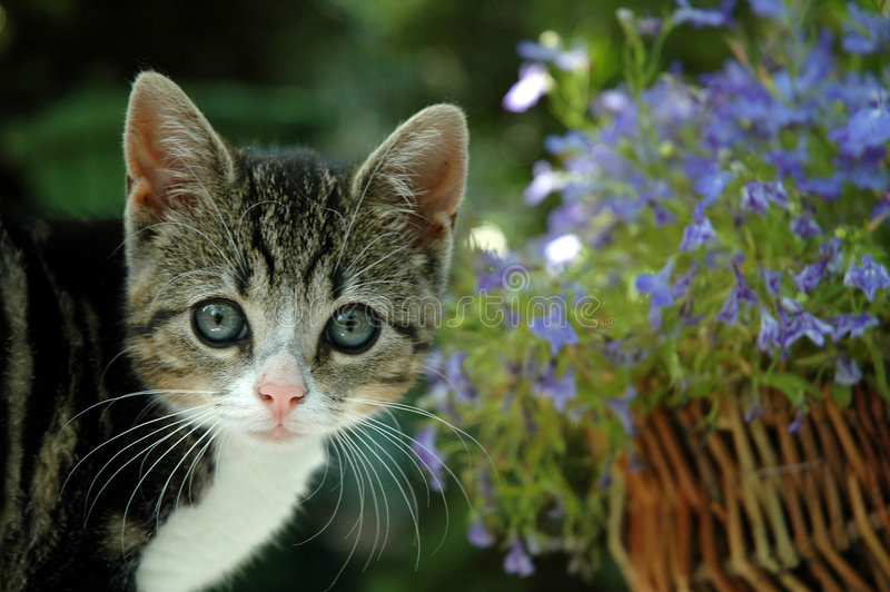 Small kitten with blue Lobelia. Small kitten between blue Lobelia in a basket stock image