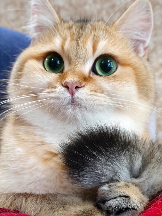 Small kitten closeup nose, mustache, green eyes and tail tail, British breed of golden color stock photography