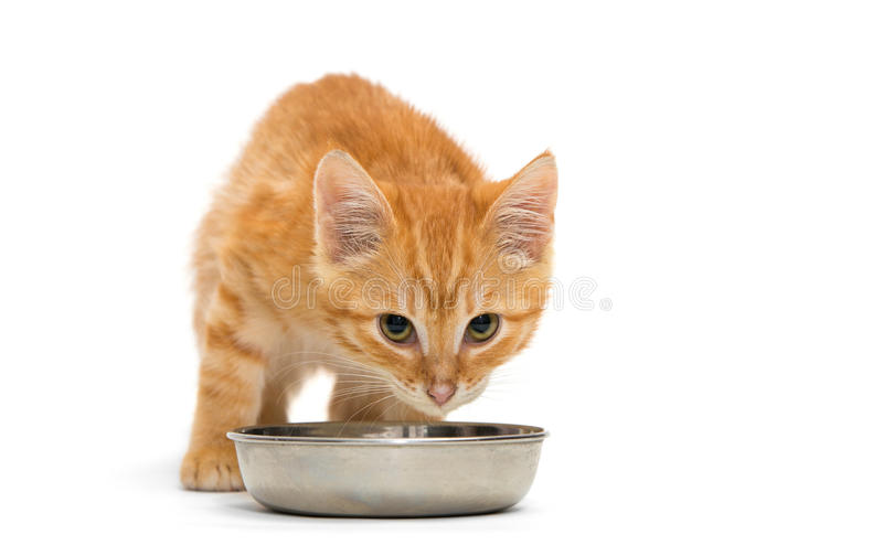 Download Small kitten drinks milk stock image. Image of pussycat - 35698611