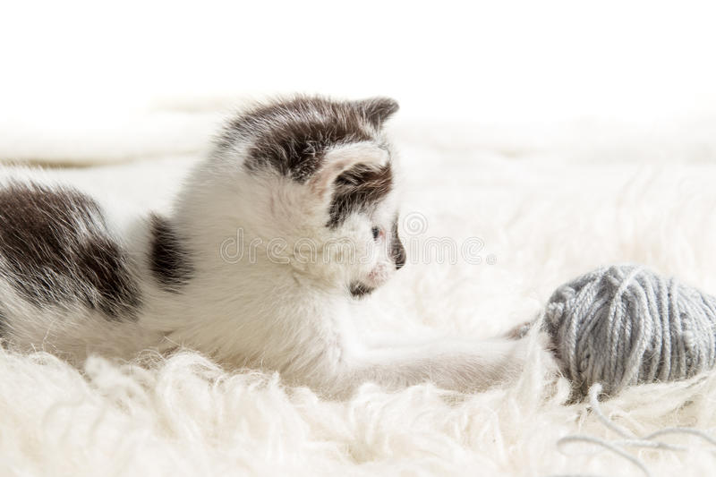 Small kitten hunting for the hank royalty free stock image