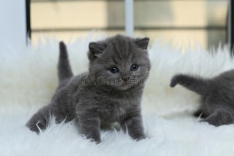 British Shorthair kittens lying on a faux Sheepskin. Small kitten lying on a white faux sheepskin stock photos