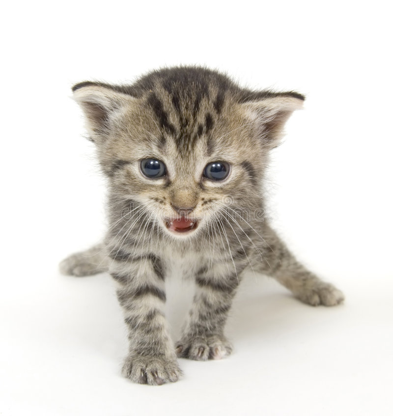 Small kitten playing on white background royalty free stock image