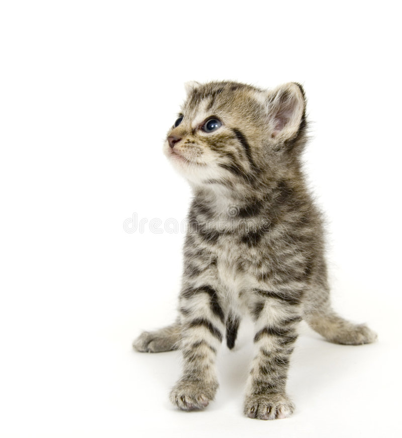 Small kitten playing on white background royalty free stock photography