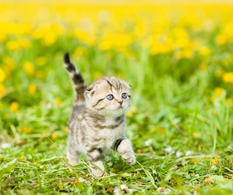 Small kitten walking on green grass.  stock photos