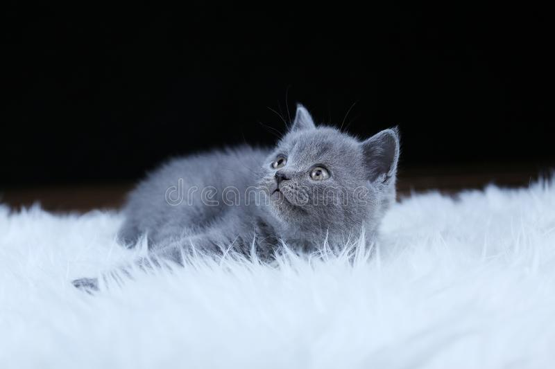 British Shorthair kitten lying on a faux Sheepskin. Small kitten walking on a white faux sheepskin, black background stock image