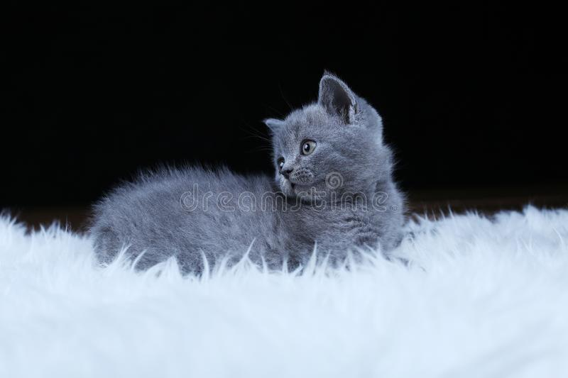 British Shorthair kitten lying on a faux Sheepskin. Small kitten walking on a white faux sheepskin, black background stock photography