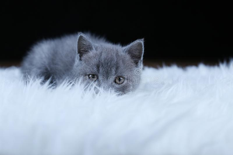 British Shorthair kitten lying on a faux Sheepskin. Small kitten walking on a white faux sheepskin, black background stock images