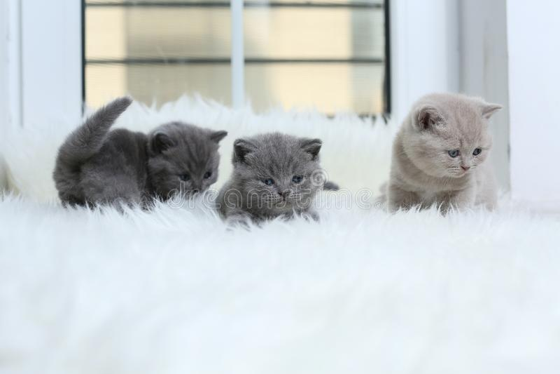 British Shorthair kitten sitting on a faux Sheepskin. Small kitten walking on a white faux sheepskin royalty free stock photo