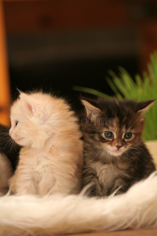 Download Small kittens stock image. Image of nice, kitten, cats - 2318353
