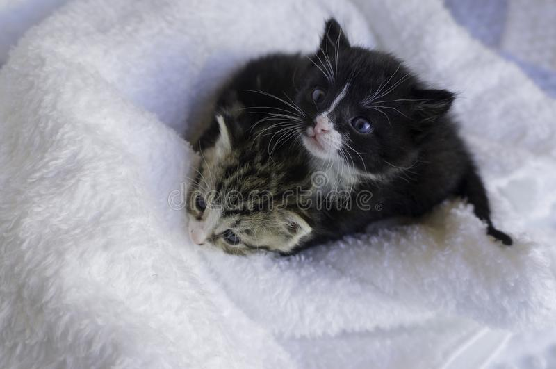 Small kittens snuggling in the blankets. Two small 4 weeks old kittens snuggling in the blankets looking up stock photo
