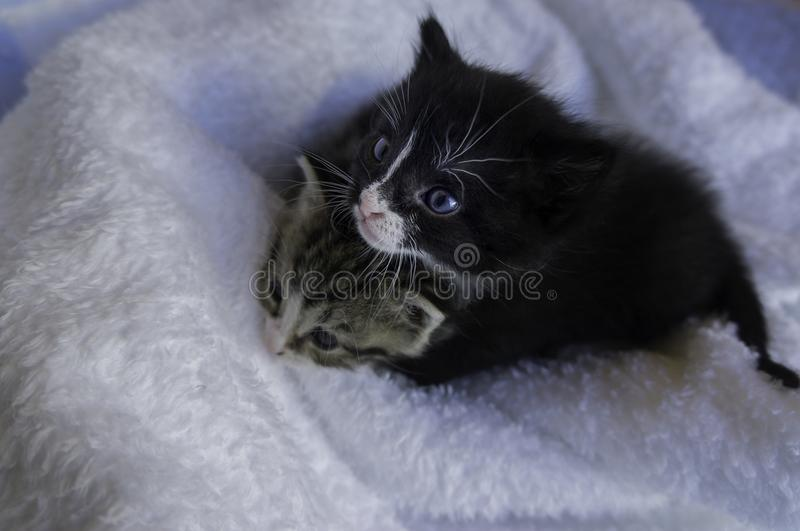 Small kittens snuggling in the blankets. Two small 4 weeks old kittens snuggling in the blankets looking up stock photography
