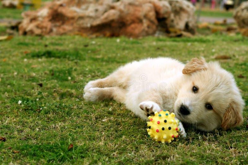 Small labrador stock image. Image of cocker, cheerful ...