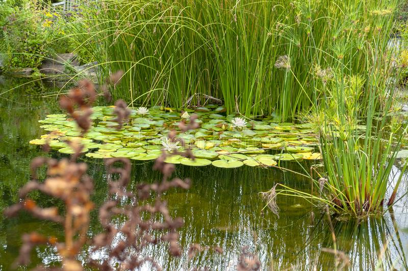 Small lake with water lily plants royalty free stock images