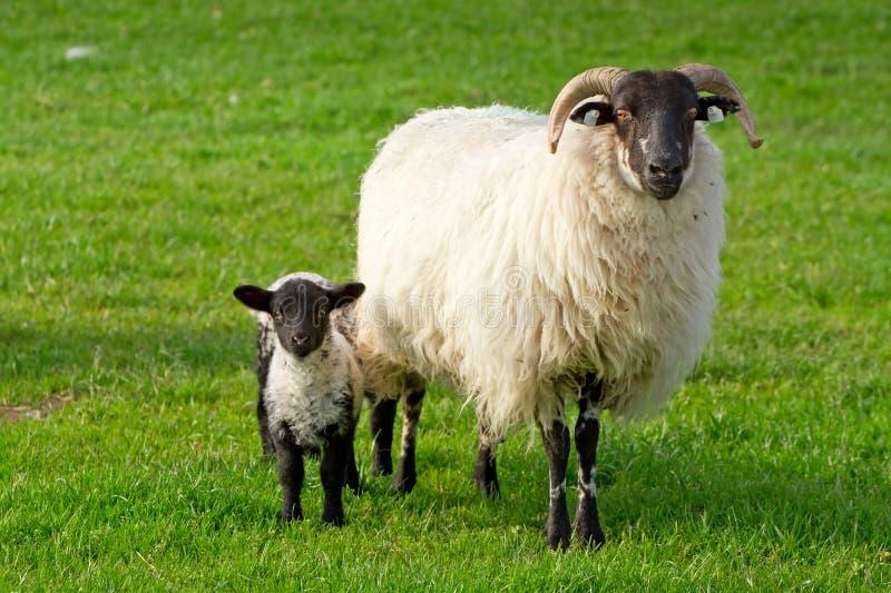 Small Lamb Royalty Free Stock Image