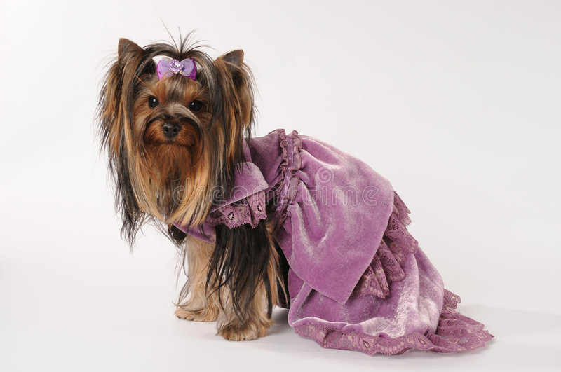 Download Small lap dog in dress stock photo. Image of dress, ponytail - 7988074