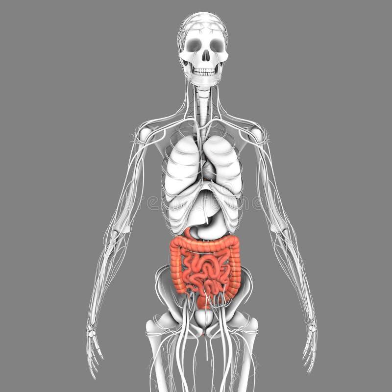 Small and large intestine stock illustration. Illustration of ...