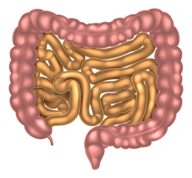 small and large intestine digestive system stock vector