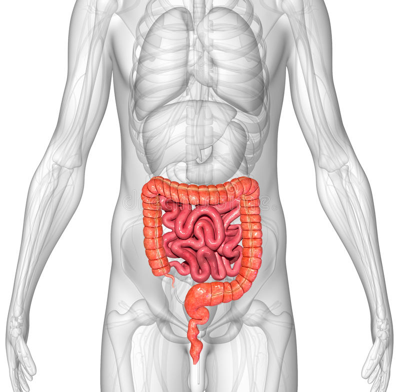 Small and large intestine. The human gastrointestinal tract (GI tract) is an organ system responsible for consuming and digesting foodstuffs, absorbing nutrients royalty free illustration