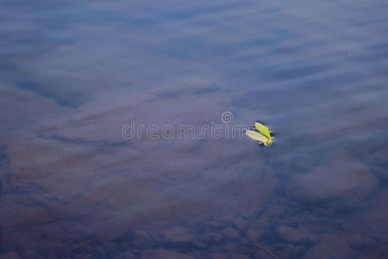 Small Leaf in Water of Lake India stock image