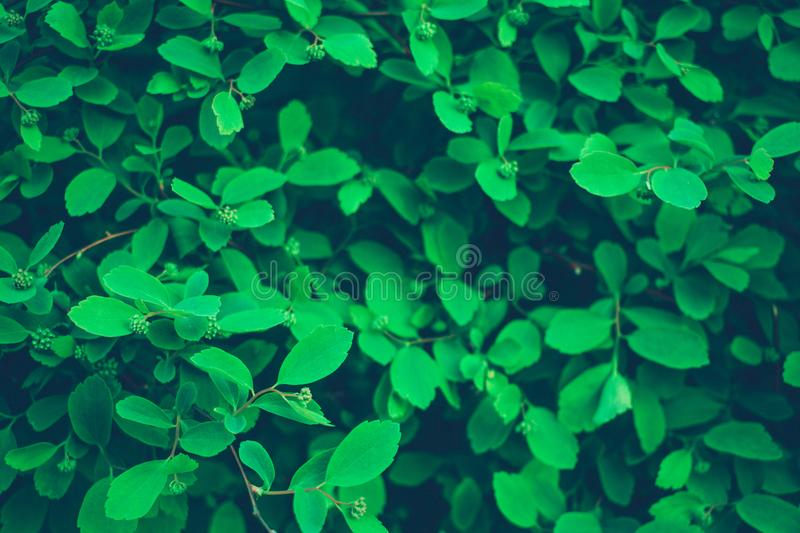 small leaves of the bush in the shade royalty free stock photography