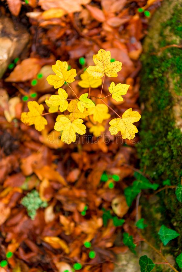 Small leaves of young maple in autumn stock photos