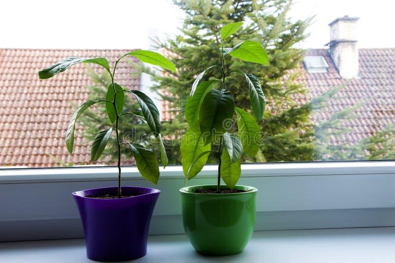 Small lemon trees stock photography