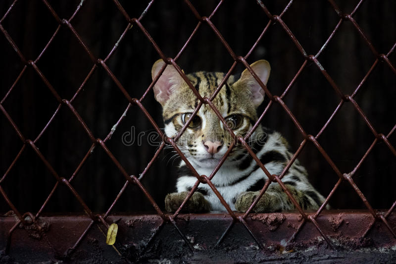 Small leopard behind the grille royalty free stock photos