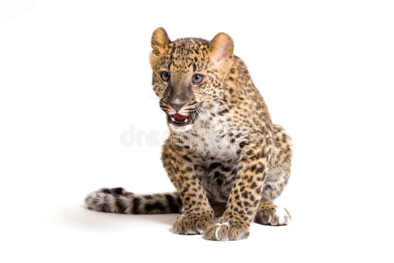 Small leopard sitting royalty free stock images