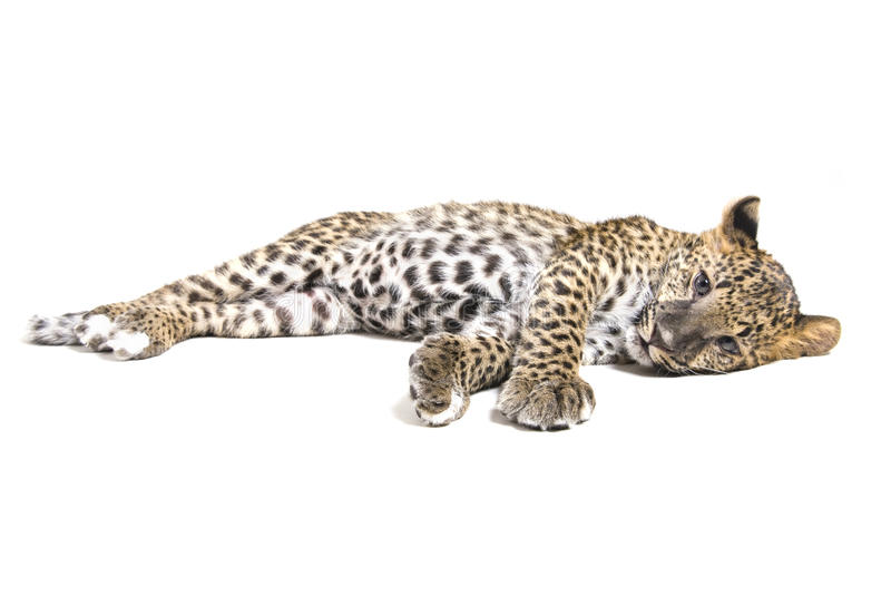 Small leopard on white royalty free stock photo