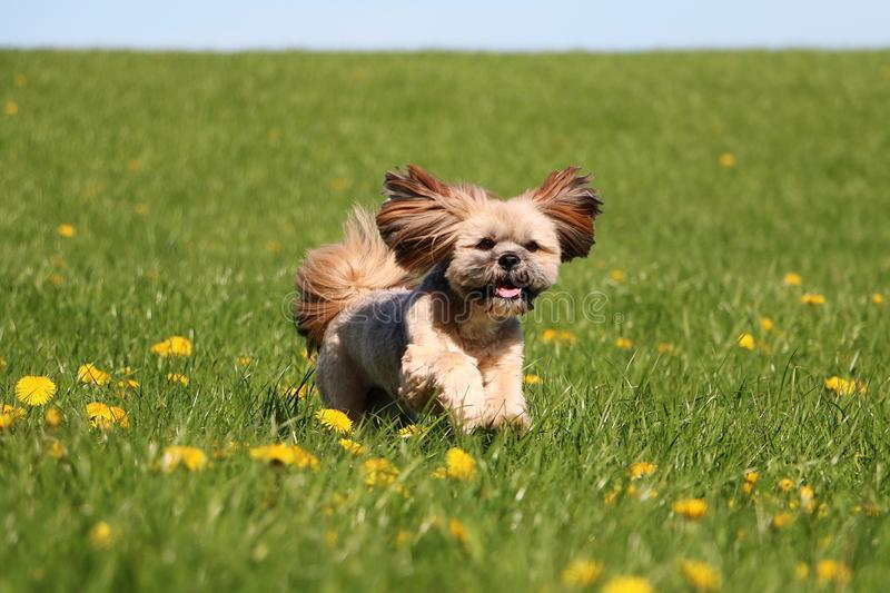 Lhasa apso is running in the garden. Small lhasa apso is running on a field with dandelions stock photography