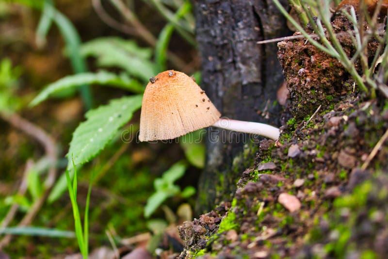 Small light brown mushroom. Horizontal, macro photography royalty free stock photos