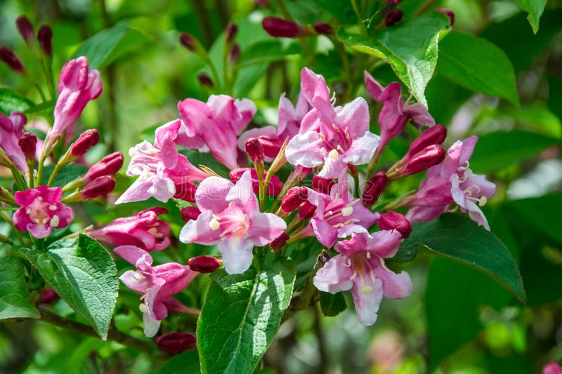 Close-up of Weigela Rosea funnel shaped pink flower, fully open and closed small flowers with green leaves. Selective focus stock photos