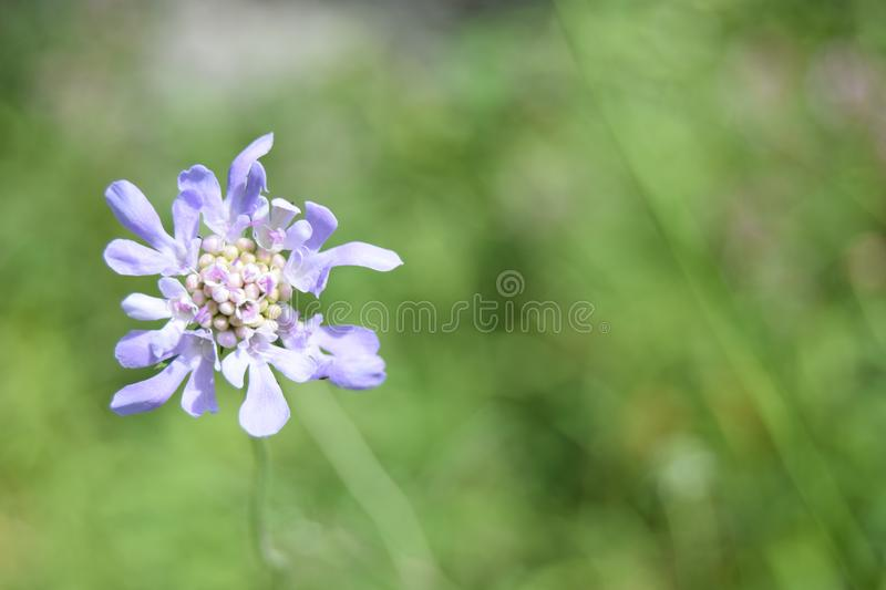 Small light purple flower, Mendips stock images