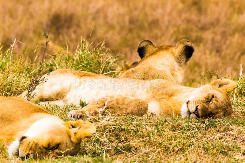 A small lion pride sleeps in the savannah. Kenya, Africa royalty free stock photos