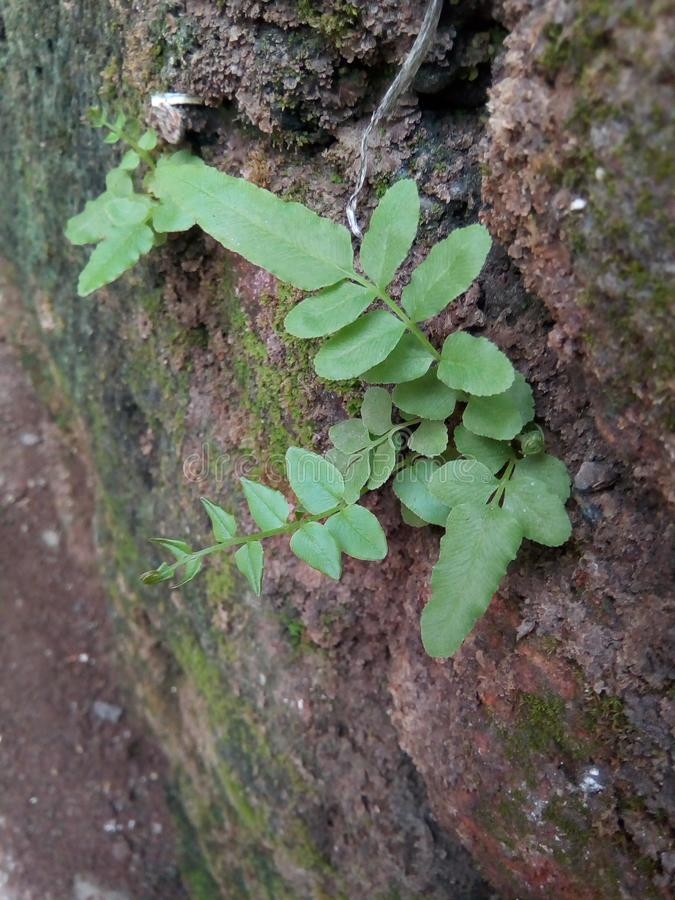 Small Little Green Plant Growing in Wall royalty free stock images