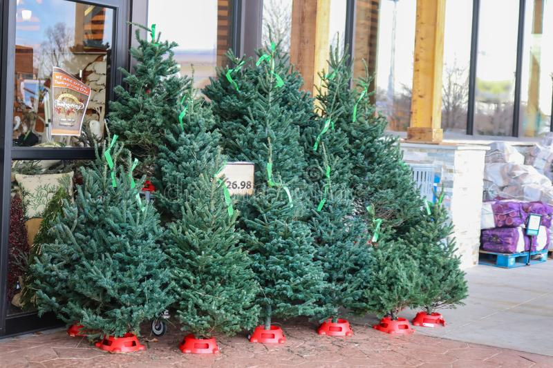 Small live Christmas trees for sale outside a US grocery store with packaged firewood in background and Open for Thanksgiving sign royalty free stock photo