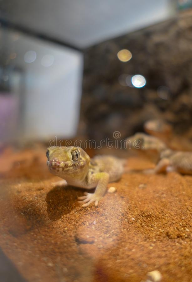 Teratoscincus scincus lizard with big eyes that is warm stock image