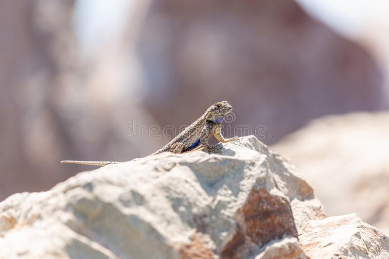 Small lizard on a rock stock photo